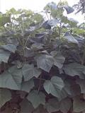 Paulovnija cepovane sadnice za jesenju sadnju