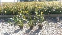 Sertifikovane sadnice americke borovnice