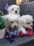 Zdrave mužjake i ženke malteške štenad