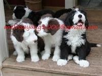 Lijepa bradata Collie Pups