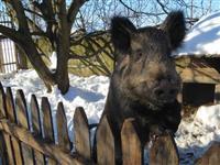 Divlje svinje krmae ya priplod