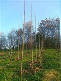 Sadnica PAULOVNIJA (pavlovo drvo)