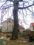 Stabla hrast