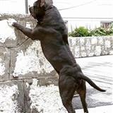 Americki Stafordski terijer, odrastao pas