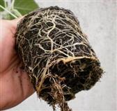 Paulovnia seme semena tomentose elongate