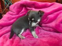 Prekrasni Chihuahua štenci