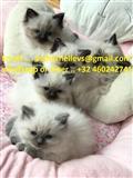 Registrirani Ragdoll Kittens