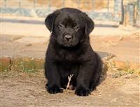 Labradori, stenci