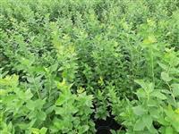 Sadnice borovnice - zbunaste , 70-80cm