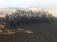Stado 60 sjagnjenih ovaca