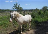 Konj poni