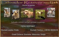 Labrador retriver otvoren za parenje