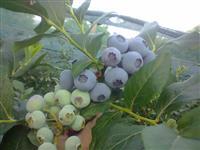 Sadnice borovnica