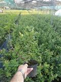 Sadnice borovnice-350 dinara sa PDV-om