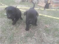 Psi Labradora (mesec i po dana stari)