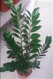 Sobne i kancelarijske biljke-Zamia