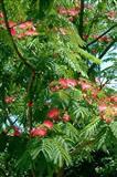 Рoza mimozu