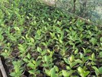 Sadnice sorbus melanocarpe - aronie