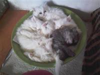 Persijski macici na prodaju!