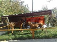 Rodezijski Ridzbek - Afericki Gonis Lavova