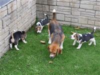 Zapanjujuće štene Beagle-a