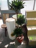Kancelarijske biljke-Dracena
