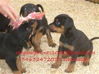 Lijepa Rottweiler Pup za prodaju