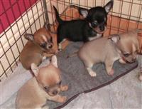 Lijepe špiljari Chihuahua