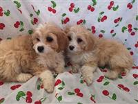 Zapanjujuće štene od Cavachona
