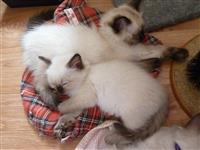 Zapanjujući ragdoll mačići