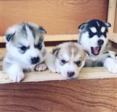 Lijepe sibirske huskyje štenad