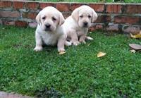 Labrador stenci na prodaju