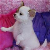 Chihuahua štenci