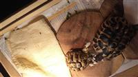 Sumske kornjace