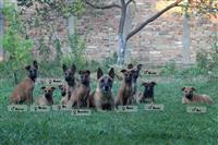 Belgijski ovčar - Malinoa štenci