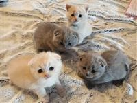 Kvalitetni škotski mačići