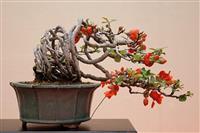 Japanska dunja (Chaenomeles japonica) seme