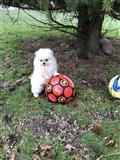 5 mjeseci Pomeranian traži novi dom,