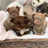 Chihuahua Pup Za prodaju Smooth Coat