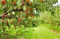 Trazimo sezonske poslove branja voca i povrca