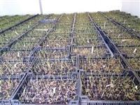 Sadnice americke borovnice-  Akcija