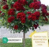 Na prodaju sadnica ruza stablasica , mini ruza ,sa