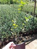 Sadnice borovnice- Duke i Bluecrop, rasadnik