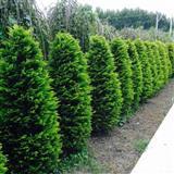 Jelke tuje juniperus lišćari  ligustrum