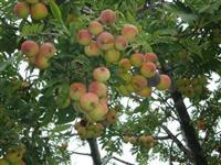 Kontejnirane sadnice i plod Oskoruse