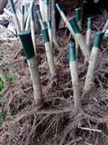 Jednogodisnje sadnice paulovnije