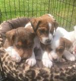 Jack Russell štenci spremni za novi dom za prodaju