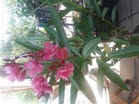 Lijander roze