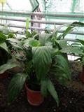 Spathiphyllum na veliko