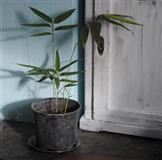 Bambus crni, Sadnica